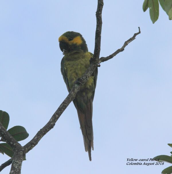 Yellow-eared Parrot 5