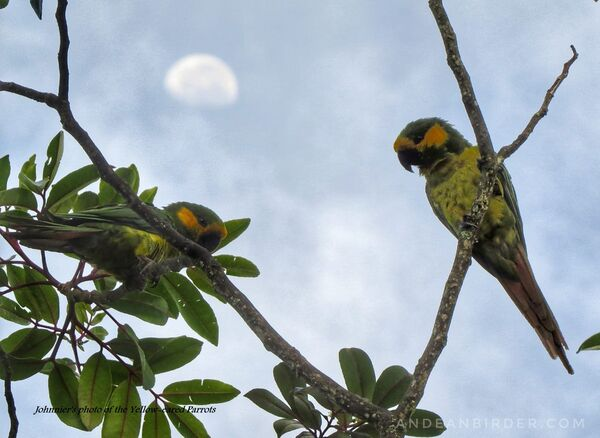 Yellow-eared Parrot Reserve