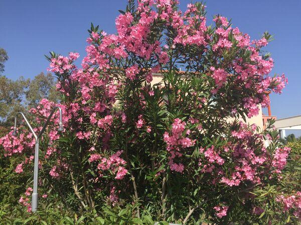 Oleander ~ May 2018