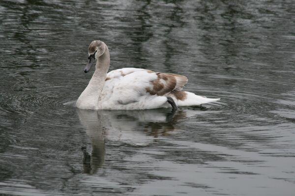 February ~ Mute Swan Cygnet Rutland Water, Rutland