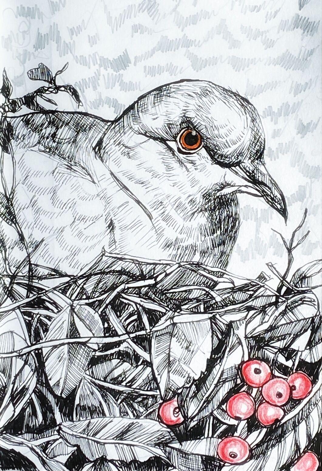collared dove nesting