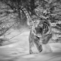 10 MP272 Siberian Tiger