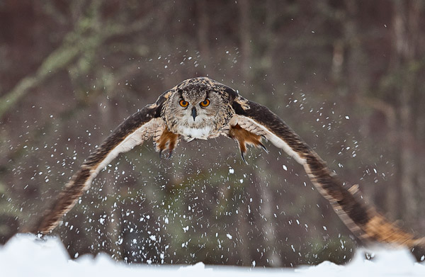 Eagle Owl Hunting in Snow
