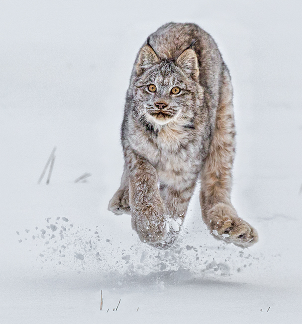 14 MP272 Young Lynx in mid air