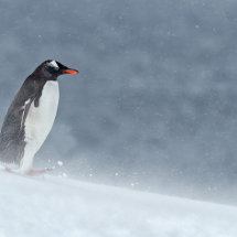 16 MP272 Gentoo in Snow storm