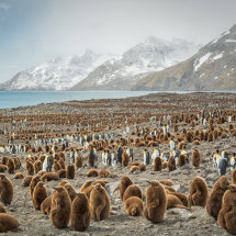 180000 pairs  of  Penguins