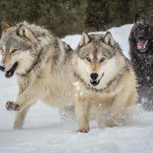20 MP272 Wolf Attack