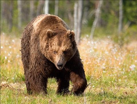 Grizzley Bear in Bog