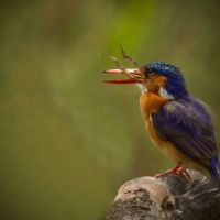 African-Kingfisher