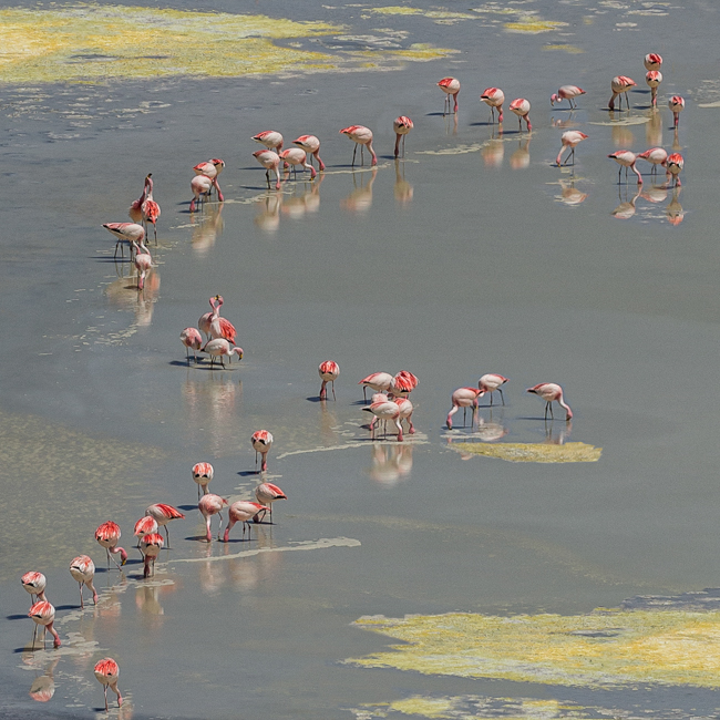 Andean Flamingo  Pattern