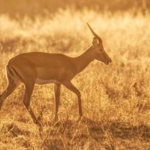 Back Lit Impala