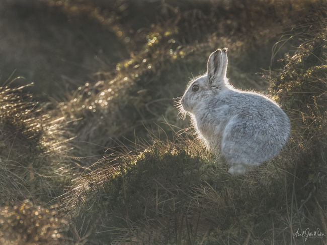 Backlit Mountain Hare
