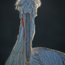 Backlit Pelican Portrait