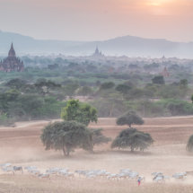 Driving the cattle home at Sunset, Bagan