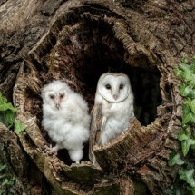 Barn Owl and Chick