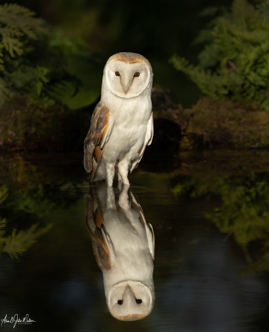 Barn Owl in late evening light