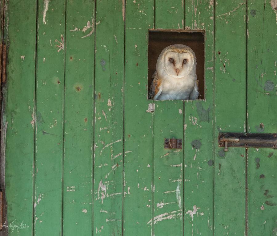 Barn Owl in the Barn