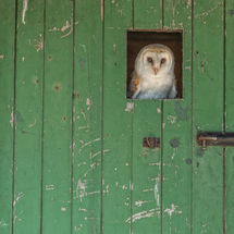 Barn Owl in the Barn