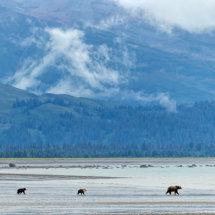 Bear Landscape 4 Alaska Bears Sept 2014-6256