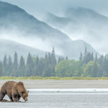 Bear Landscape Alaska Bears Sept 2014-5425
