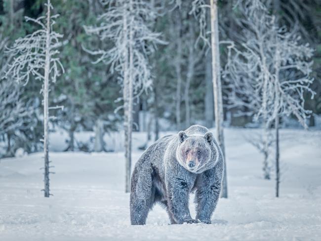 Bear in the Snow 2