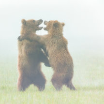 Bears  in  the  Mist