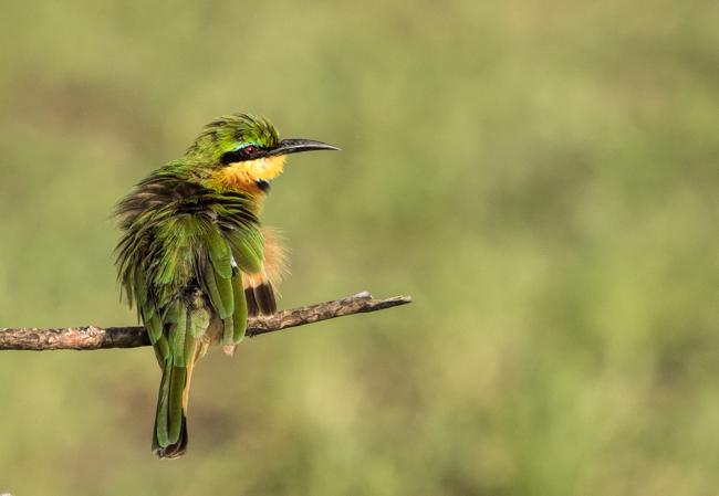 Bee Eater 2