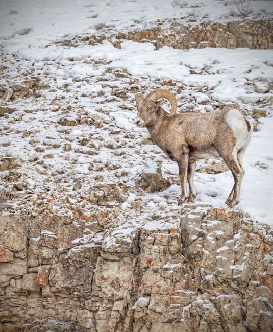Big Horn Sheep Portrait Yellowstone Jan 2014-8361