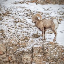 Big Horn Sheep Portrait Yellowstone Jan 2014-8361