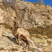 Big Horne Sheep Yellowstone Jan 2014-0604
