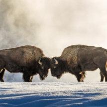 Bison Confrontation 2