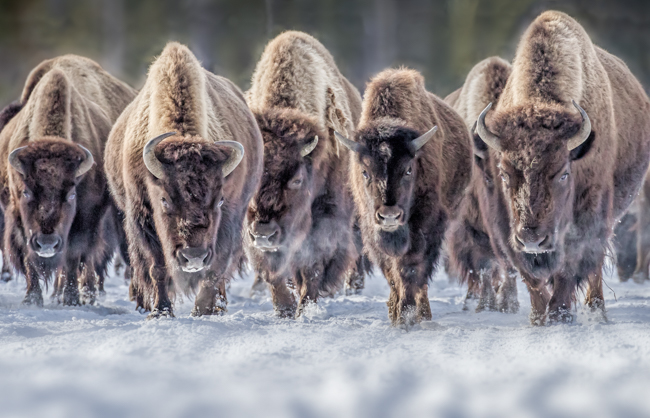 Bison on the move 3  Yellowstone Jan 2014-0917