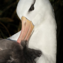 Black Browed Albatros Portrait