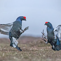 Black Grouse Agression