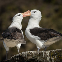Black  Browed  Albatros  Courtship