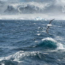 Black  Browed  Albatros  at  Sea