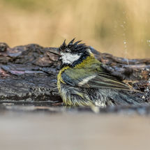 Blue Tit washing