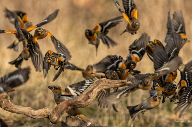 Bramblings scatter