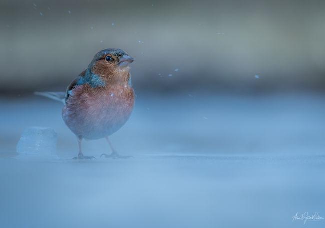 Bramling on Ice