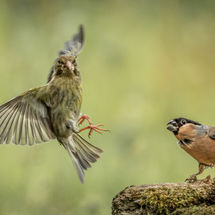 Bullfinch aggression
