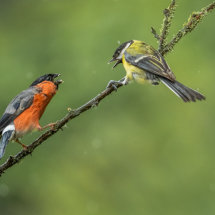Bullfinch and Great Tit Confrontation
