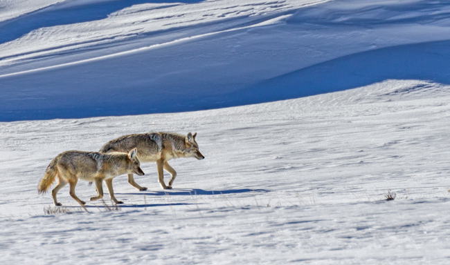 Coyote Yellowstone Jan 2014-0746
