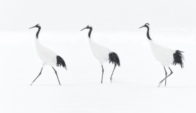 Cranes in Snow Storm