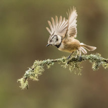 Crested Tit Take Off