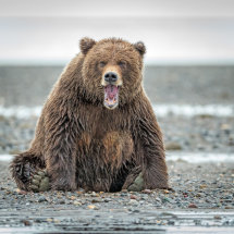 Cross Bear Alaska Bears Sept 2014-6018