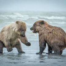 Cub fight Alaska Bears Sept 2014-6658