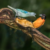 Dispute between  Tanager  and  Oriole