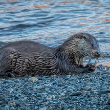 Dog Otter with Fish
