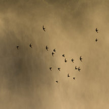 Dusky  Swifts