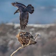 Eagle and Raven